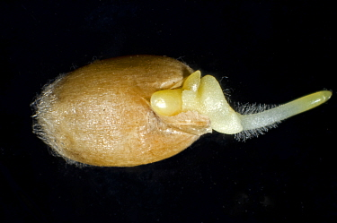 A germinating seed if winter wheat (Triticum aestivum) with radicle, root hairs and coleoptile growth developing