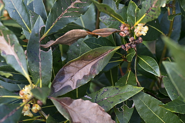 Sweet bay (Laurus nobilis) leaves with overwintering cold or wind damage. Berkshire, England, UK. April.