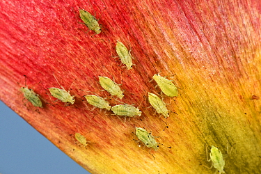 Potato aphid (Macrosiphum euphorbiae) infestation on Tulip (Tulipa sp) petal. Berkshire, England, UK. May.