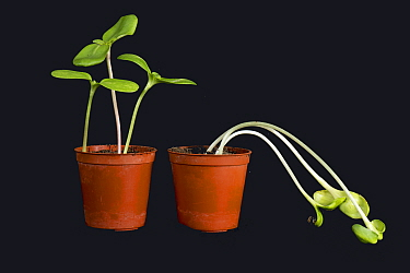 Sunflower (Helianthus annuus) seedlings grown in light on left and without light on right, etiolated chlorotic and weak.