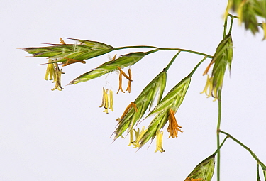 Meadow fescue grass (Schedonorus pratensis) spikelets flowering in panicle, close up. Berkshire, England, UK. June.
