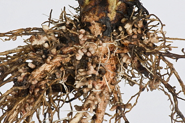 Broad bean (Vicia faba) roots with root nodules formed by Bacteria (Rhizobium sp) for nitrogen fixation.