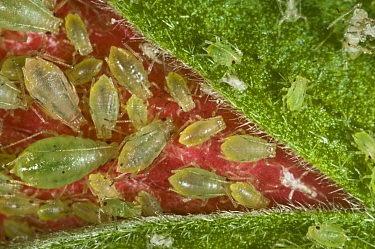 Glasshouse-potato aphid (Aulacorthum solani) colony on Hibiscus (Hibiscus sp) flower bud, house plant.