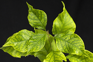 Iron deficiency symptoms with interveinal chlorosis on cultivated Bougainvillea (Bougainvillea sp) leaves.