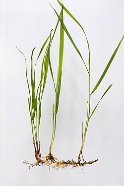 Common couch grass (Elymus repens) with rhizomatous roots, white background.