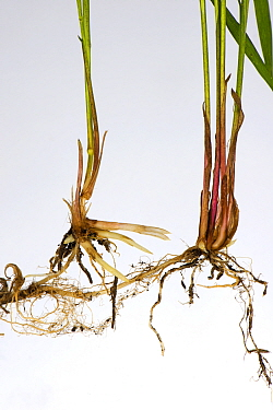 Common couch grass (Elymus repens) stems, shoots and rhizomatous roots, white background.