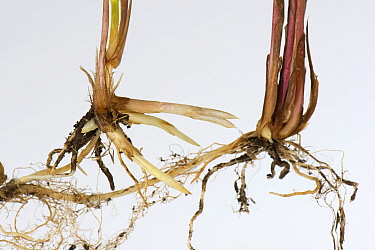 Common couch grass (Elymus repens) shoots and rhizomatous roots, white background.