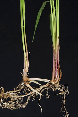 Common couch grass (Elymus repens) stems, shoots and rhizomatous roots, black background.