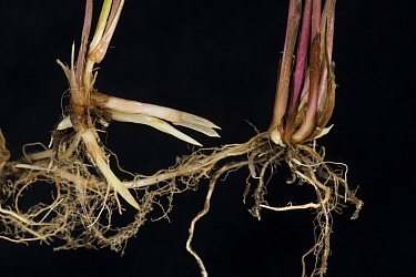 Common couch grass (Elymus repens) shoots and rhizomatous roots, on black background.