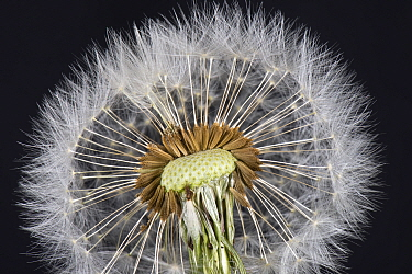 Dandelion (Taraxacum officinale) clock, seed head with pappus, beak and achene for wind dispersal.