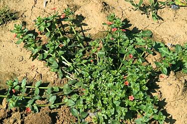 Scarlet pimpernel (Anagallis arvensis) growing as arable weed. England, UK. September.