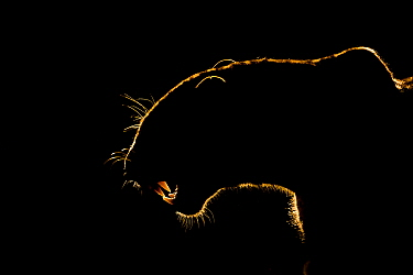 Silhouette of an African leopard (Panthera pardus pardus) snarling, Mkuze, South Africa. September. 'White Fang' - this leopard bared its fangs to the hyenas threatening his prey. Eventually t...