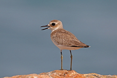 Greater sand plover (Charadrius leschenaultii) with open beak, standing on rock. Oman, July.