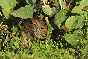 Nile rat (Arvicanthus niloticus) feeding on vegetation. Oman, March.