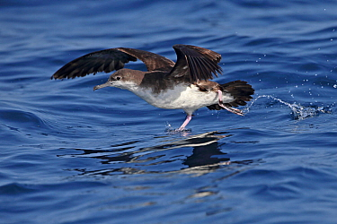 Persian shearwater (Puffinus persicus) taking off, running over water. Oman, October.