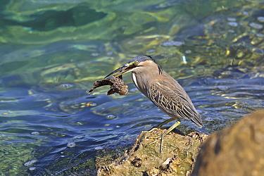 Striated heron (Butorides striata) with Scorpionfish (Scorpaenidae) in beak, standing on rock. Oman, November