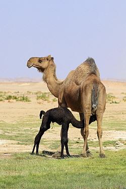 Dromedary (Camelus dromedarius) female and newborn calf, calf suckling. Oman, March.