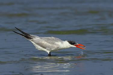 Caspian tern (Hydroprogne caspia) with open beak, in shallow water. Oman, March.