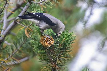 Clark's nutcracker (Nucifraga columbiana) feeding on Pine (Pinus sp) seeds. Grand Teton National Park, Wyoming, USA. September.