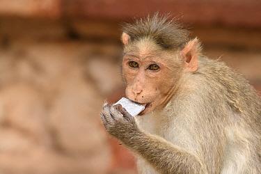Bonnet macaque (Macaca radiata) chewing on mobile phone battery. Hampi, Karnataka, India. 2019.