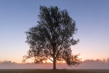 Goat willow (Salix caprea) tree in mist at dawn. Klein Schietveld, Brasschaat, Belgium. August 2019.