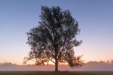 Goat willow (Salix caprea) tree in mist at dawn. Klein Schietveld, Brasschaat, Belgium. August 2019.