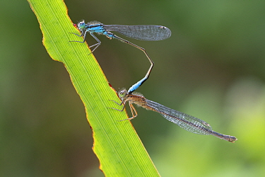 Blue-tailed damselfly (Ischnura elegans) pair mating, on leaf. Brasschaat, Belgium. August.