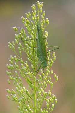 Great green bush-cricket (Tettigonia viridissima) covered in dew droplets, on flowerhead. Peerdsbos, Brasschaat, Belgium. July.