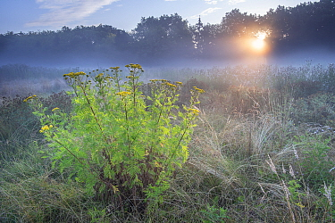 Tansy (Tanacetum vulgare) flowering in grassland on misty morning, sun shining through trees. Peerdsbos, Brasschaat, Belgium. July 2018.