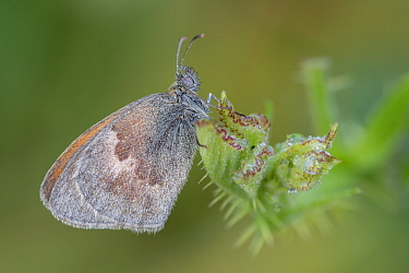 Small heath butterfly (Coenonympha pamphilus), wing covered in dew droplets. Klein Schietveld, Brasschaat, Belgium. August.