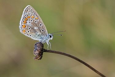 Common blue (Polyommatus icarus) butterfly on flowerhead. Klein Schietveld, Brasschaat, Belgium. August.