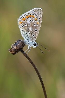 Common blue (Polyommatus icarus) butterfly resting on flowerhead. Klein Schietveld, Brasschaat, Belgium. August.