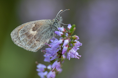 Small heath butterfly (Coenonympha pamphilus) on Common heather (Calluna vulgaris), covered in dew. Klein Schietveld, Brasschaat, Belgium. August.