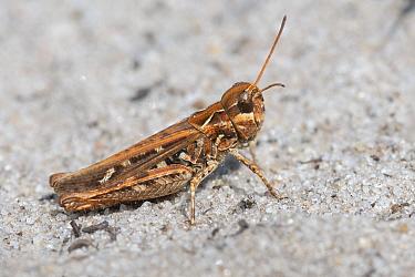Mottled grasshopper (Myrmeleotettix maculatus) female. Klein Schietveld, Brasschaat, Belgium. August.