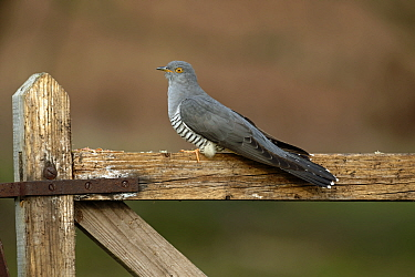 Common Cuckoo (Cuculus canorus) perched on gate Surrey, England, UK. April.
