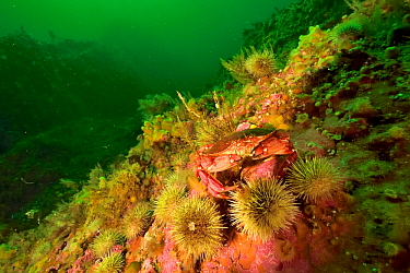 Atlantic / Common rock crab (Cancer irroratus) on the reef in the middle of green sea urchins (Strongylocentrotus droebachiensis) Gulf of Saint Lawrence, Canada