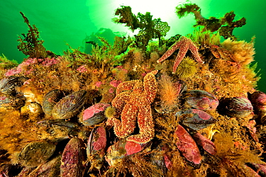 Reef covered with Clams (Mesodesma arctatum) and Common starfish (Asterias rubens) Gulf of Saint Lawrence, Canada