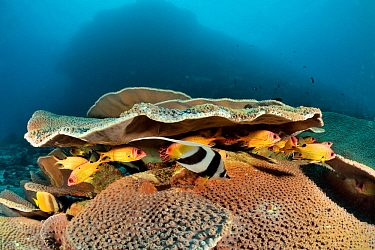 Cup coral (Turbinaria mesenterina) housing Blackblotch or blackspot squirrelfish (Sargocentron melanospilos) and a longfin bannerfish (Heniochus acuminatus), New Caledonia, Pacific Ocean.