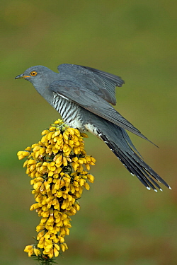 Common Cuckoo (Cuculus canorus) perched on flowering Gorse (Ulex europaeus) Surrey, England, UK. April.