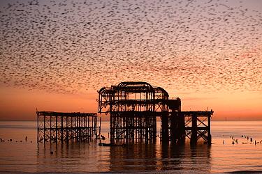 Starling (Sturnus vulgaris) murmuration at sunset, West Pier, Brighton, England, UK.