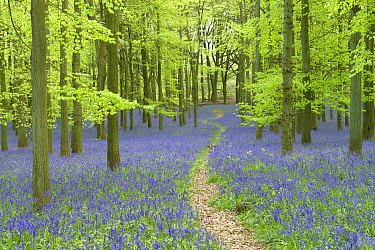 Path leading through through woodland with Bluebells (Hyacinthoides non-scripta) flowering in spring, Buckinghamshire, England, UK, May.