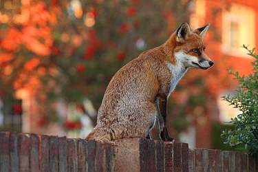 Red fox cub (Vulpes vulpes) on fence, Hampshire, England, UK, October.