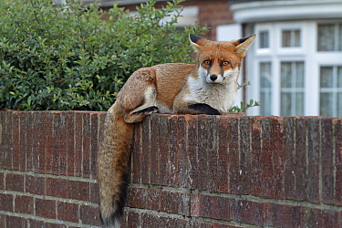 Red fox cub (Vulpes vulpes) on wall, Hampshire, England, UK, October.