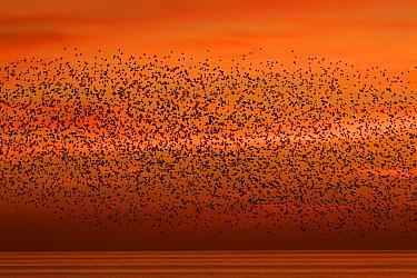 Starling (Sturnus vulgaris) coming into roost at sunset, Brighton, Sussex, England, UK, December.