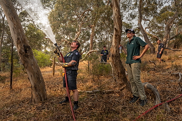 Firefighter from Melbourne's Metropolitan Fire Brigade (MBF) try and help cool down the Yarra Bend Grey-headed Flying-fox (Pteropus poliocephalus) colony by spraying water on them.  Park Ranger and...