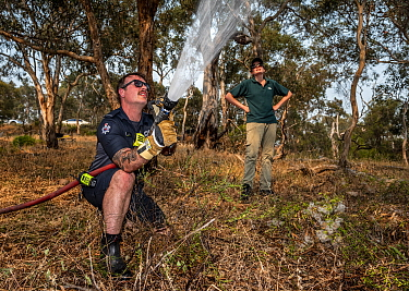 Firefighter from Melbourne's Metropolitan Fire Brigade (MBF) try and help cool down the Yarra Bend Grey-headed Flying-fox (Pteropus poliocephalus) colony by spraying water on them.  Park Ranger and G...