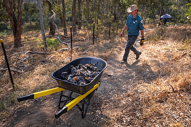 Park Ranger and Grey-headed Flying-fox Project Officer Stephen Brend on his way to get more supplies and coordinate rescue attempts, walks past a wheelbarrow filled with dead Grey-headed Flying-foxes...
