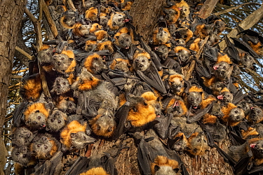 During an extreme heat-stress event at Melbourne's Yarra Bend Grey-headed Flying-fox (Pteropus poliocephalus) colony, where temperatures exceeded 43C, in a desperate search for somewhere cooler an...