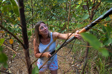 Julie Jennings, senior wildlife carer for Port Stephens Koalas, collects eucalyptus branches to feed to the koalas (Phascolarctos cinereus) under her care, using a long arm branch cutter. One Mile, NS...