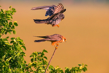 Red-footed Falcon (Falco vespertinus) male landing on female's back to mate, Hungary. June